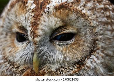 Close portrait of a Tawny Owl