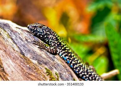 In close up portrait of a terrified lizard