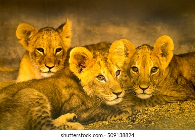A close portrait of three resting young lions