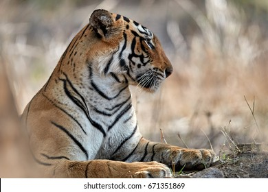 Close up portrait of tigress. Wild Bengal tiger, Panthera tigris against dry forest. Ranthambore national park, Rajasthan, India.