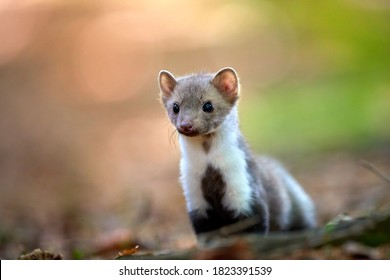 Close up  portrait of tiny, juvenile Stone Marten, Martes foina,  living in spruce forest. Low angle photo, blurred nature background. European forest,  Czech republic.
