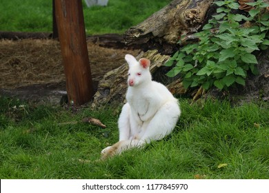 Close up portrait of a tired looking albino Benett´s wallaby (red-necked wallaby, macropus rufogriseus) sitting on a fresh green meadow