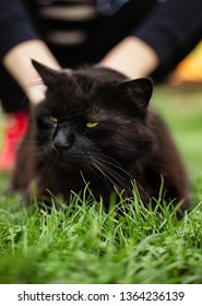 Close up portrait of tomcat (Chantilly Tiffany)  laying on the grass on sunset. Girl strokes a dark black cat with big green eyes resting in garden and posing to camera on sunny day.