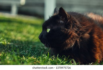 Close up portrait of tomcat (Chantilly Tiffany)  laying and nuzzling (smelling) the grass - on sunset. Dark black cat with big green eyes resting in garden and posing to camera on sunny day.