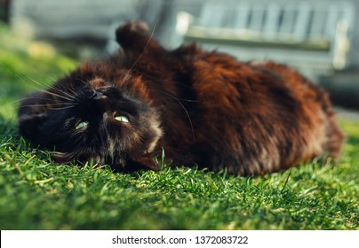 Close up portrait of tomcat (Chantilly Tiffany)  laying on his back and grass and looking  to camera on sunny day. Dark black cat with green eyes playing in the garden and posing to camera.