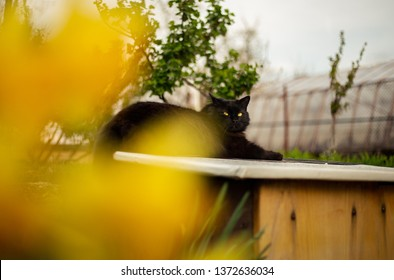 Close up portrait of tomcat (Chantilly Tiffany) resting and relaxing on the wall - sunny day. Dark black cat with big green eyes in garden posing to camera with yellow daffodils in springtime.