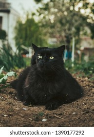 Close up portrait of tomcat (Chantilly Tiffany)  laying on the ground (soil) in garden and looking to camera on sunny day. Dark black cat with green eyes resting on the field near the harvest.