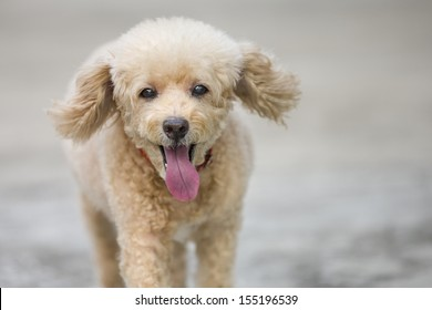 A close up portrait of a toy poodle running