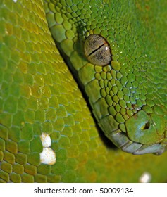 close up portrait of tree python