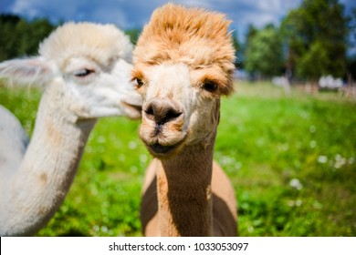 close up portrait of two cute friendly alpacas, that seem to be talking to each other.