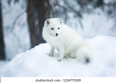 Close up portrait view of Arctic Fox in Finland, Lapland, near Rovaniemi