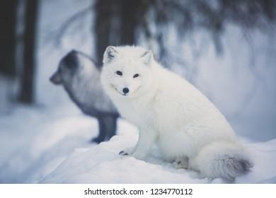 Close up portrait view of Arctic Fox in Finland, Lapland, near Rovaniemi