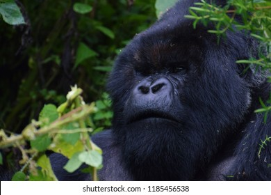 Close up portrait of a western lowland gorilla, close up at a short distance. Silverback gorilla at a zoo