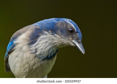 Close up portrait of Western Scrub Jay (Aphelocoma californica).  ??????? ????????????? ?????.