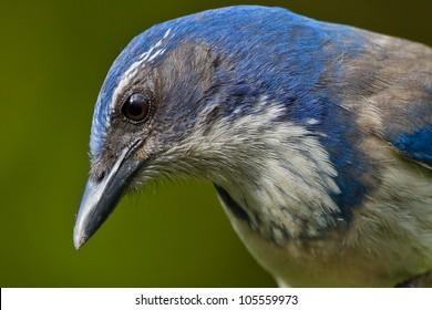 Close up portrait of Western Scrub Jay (Aphelocoma californica).  ??????? ????????????? ?????.