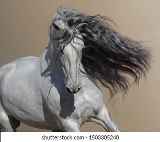 Close up portrait of white Andalusian horse with long mane flutters on wind.