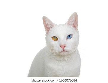 Close up portrait of a white cat with heterochromia, odd eyes, looking directly at viewer with intense stare. Isolated on white background.