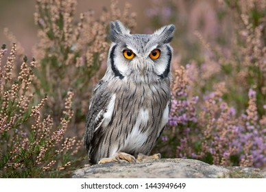 A close up portrait of a white faced scops owl as it stands on a roch facing forward looking at the camera