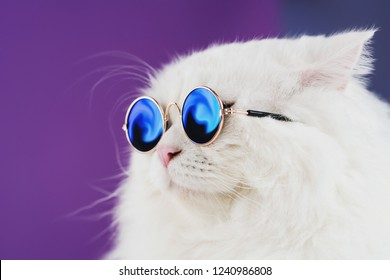 Close portrait of white furry cat in fashion sunglasses. Studio photo. Luxurious domestic kitty in glasses poses on purple background wall