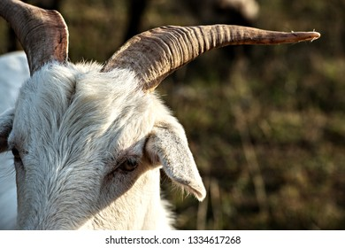 close up portrait of a white goat with big horns