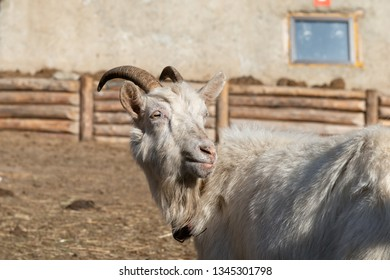 close up portrait of a white goat on a farm. Goat family living in permafrost conditions
