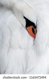 close up portrait of a white swan head hides its beak in its wings. close up. For card or book cover