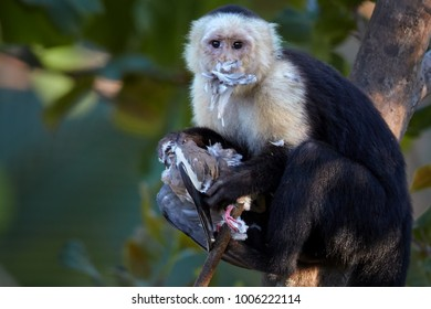 Close up portrait of  White-headed capuchin, Cebus capucinus, american monkey on branch, eating bird prey. Monkey with feathers on mouth after attack on turtledove bird.Animal action scene,Costa Rica.