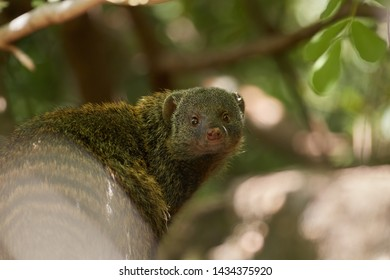 Close up portrait of wild Banded mongoose, Mungos mungo against blurred natural background, staring at camera. Small african predator in green forest of Amboseli, Kenya.
