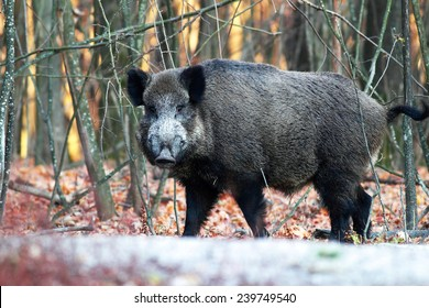 Close portrait of a wild boar in the forest