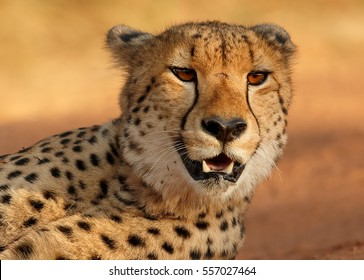 Close up portrait of wild Cheetah, Acinonyx jubatus, lying on the reddish soil against savanna background. Typical environment of Entabeni Game Reserve. South Africa.
