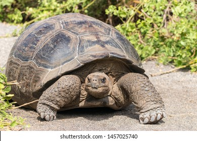 Close up portrait of a wild Galapagos Tortoise on the Galapagos Islands