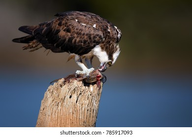 Close up portrait of wild Osprey, Pandion haliaetus, feeding on fish on dead tree trunk against blue river background. Close up wild raptor, isolated on blurred background, with the catfish caught.