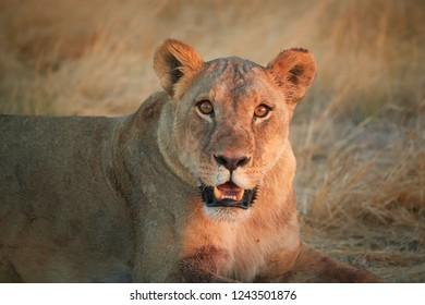 Close up portrait of wild Panthera leo, lioness  in last sunrays, staring directly at camera in typical environment of Etosha pan desert, orange eyes.  Etosha national park, Namibia.