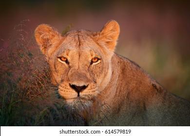 Close up portrait of wild Panthera leo vernayi,  Kalahari  lioness in typical environment of Kalahari desert, head with orange eyes lit by first sunrays.  Kgalagadi transfrontier park, Botswana