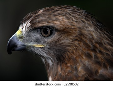 Close up portrait of a wild red tailed hawk