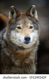 Close up portrait wolf in winter forest background. Animal in the nature habitat
