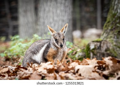 Close portrait of Yellow-footed rock-wallaby (Petrogale Xanthopus) in nature environment.