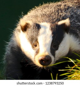 Close up portrait of a young badger in daylight, facing front to viewer with grass tuft front right