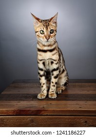 Close Up Portrait of a Young Bengal Kitten in the Studio