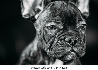 Close Up Portrait Young Black French Bulldog Dog Puppy With White Spot Sit On Red Sofa Indoor. Funny Dog Baby. Photo In B&W, Black And White Colors