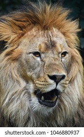 Close up portrait of young male African lion with beautiful mane, looking at camera with mouth open, low angle view