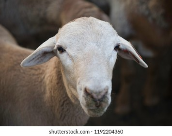 Meat Master Sheep Breed Images, Stock Photos & Vectors | Shutterstock