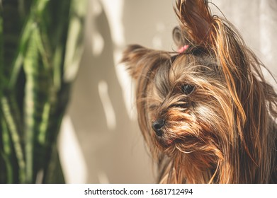 Close up portrait of young Yorkshire terrier female puppy looking at the window from house near the windowplant during the bright sunny day. Lovely pets care at home concept.