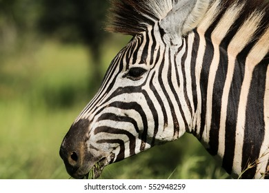 Close up portrait of a young zebra, profile, Kruger National Park, South Africa
