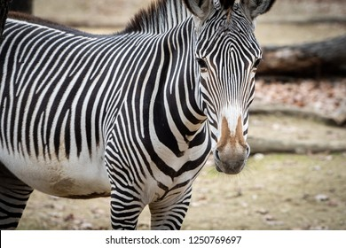 Close portrait of Grevy´s Zebra (Zebra-de-Grevy / Equus grevyi).