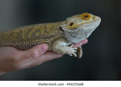 Close up portraits of bearded dragon lizard isolated against simple background