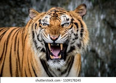 Close Up Portraits of roaring Bengal Tiger.
