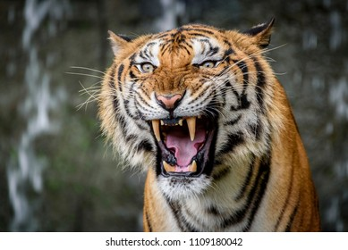 Close Up Portraits of roaring Bengal Tiger.