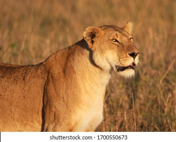 A close up pose of a female lion showing alertness