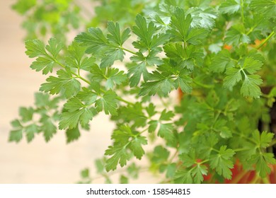 close up of a pot of flat leaf or Italian parsley